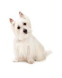 Nyfiket västra höglands- Terrier hundsammanträde royaltyfria bilder
