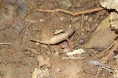 Nyfiket var pygmékameleonten (Brookesia minimi) Royaltyfria Bilder