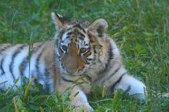 Nyfikna Amur Tiger Cub Cameo Arkivfoto