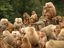 nyfikna baboons Royaltyfria Bilder