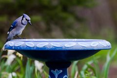 Nyfikna blåa Jay Cyanocitta Cristata på fågelbadet i vår Royaltyfri Foto