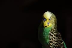 Nyfikna Budgie som dyker upp från mörker Royaltyfria Foton