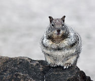 Nyfikna Chubby Gray Squirrel Royaltyfria Foton