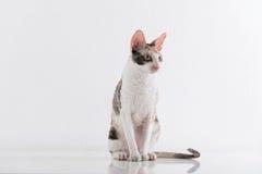 Nyfikna corniska Rex Cat Stand på den vita tabellen Vit väggbakgrund lång svan arkivbilder