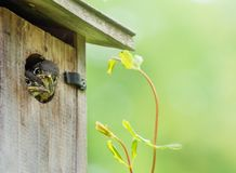 Nyfikna fågelungeblåsångare med tomt grönt utrymme arkivbilder