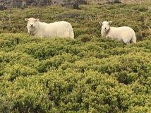 Nyfikna får - mum och lamm arkivfoto