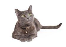 Nyfikna Grey Domestic Shorthair Cat Looking upp Royaltyfri Bild