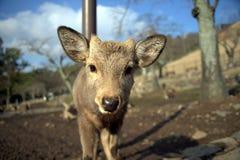 nyfikna hjortar Arkivfoto