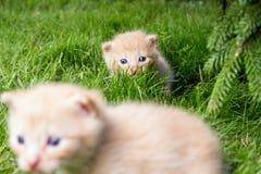 Nyfikna kattungar som kontrollerar att omge Arkivbilder