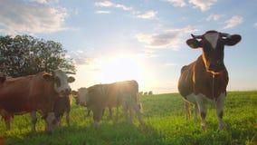 Nyfikna kor i en äng lager videofilmer
