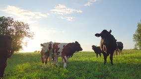 Nyfikna kor i en äng stock video
