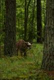 Nyfikna lösa kor i kor för en skogmoder med kalven Royaltyfria Bilder