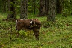 Nyfikna lösa kor i kor för en skogmoder med kalven Royaltyfri Fotografi