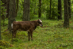 Nyfikna lösa kor i kor för en skogmoder med kalven Royaltyfria Foton