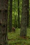 Nyfikna lösa kor i kor för en skogmoder med kalven Fotografering för Bildbyråer