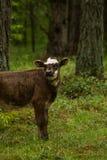Nyfikna lösa kor i kor för en skogmoder med kalven Arkivbild