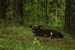 Nyfikna lösa kor i kor för en skogmoder med kalven Arkivbilder