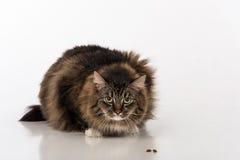 Nyfikna och ilskna mörka Cat Sitting på den vita tabellen Vit bakgrund Fred av mat arkivfoton