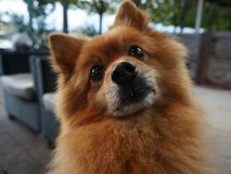 Nyfikna Pomeranian Royaltyfri Foto