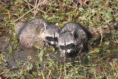 nyfikna raccoons Royaltyfri Foto