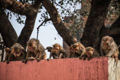 Nyfikna rhesusapamacaques, Uttar Pradesh, Varanasi, Indien royaltyfri fotografi
