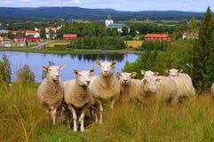 nyfikna sheeps Royaltyfri Bild