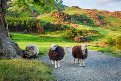 Nyfikna sheeps betar på i sjöområdet, England Arkivbild