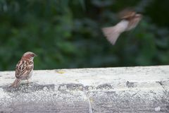 nyfikna sparrows Arkivfoton