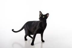 Nyfikna svarta orientaliska Shorthair Cat Standing på den vita tabellen med reflexion Vit bakgrund lång svan Royaltyfria Bilder