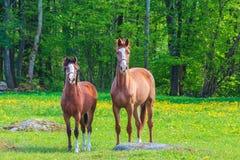 Nyfikna svenska hästar i vår Arkivbilder