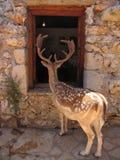 Nyfikna tämjde prickiga hjortar som ser inom ett mänskligt hus till och med fönstret royaltyfri foto