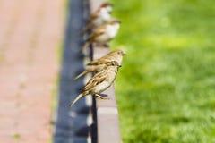 nyfikna unga gruppsparrows Arkivbilder