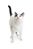 Nyfikna vita Cat Standing Looking Up Arkivfoto