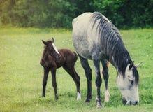 Nyfött behandla som ett barn hästen med modern på det gröna gräset Arkivbilder