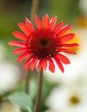 Nyligen öppnad Echinaceablom Arkivfoto