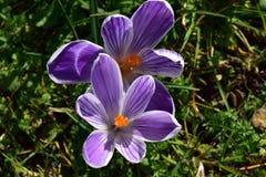 Nyligen blommade krokusblommor Arkivfoton