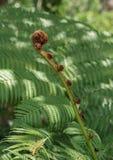 Nyligen blomstra ormbunketillväxt Royaltyfria Foton