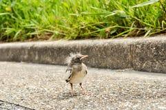 Nyligen kläckt fågelanseende på en trottoar royaltyfria bilder