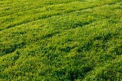 Nyligen mejad gräsgräsmatta med gummihjuldiagonals Royaltyfri Foto