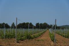 Nyligen planterad vingård Arkivfoto