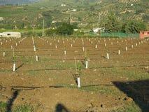 Nyligen planterade Lemon Grove Royaltyfria Bilder