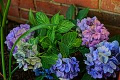 Nyligen planterade Mophead vanliga hortensior Arkivbilder