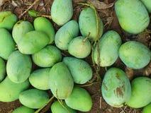 Nyligen skördade mango (mango) royaltyfri foto