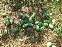 Nyligen skördade mango (mango) royaltyfri fotografi