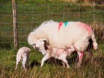 Nyligen uthärdade lamm, Wales Arkivfoto
