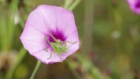 Nymf tettigoniaviridissima - stor grön Bush-syrsa - på althaeoides för en konvolvulus - malvavindaväxt arkivfilmer