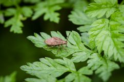 Black & Red Squash bug on grass. Nymph of Black & Red Squash bug Corizus hyoscyami walking on green grass in garden. Close up Stock Photography