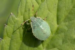 Nymph a bug. Palomena prasina (young bug shchitnikov). Stock Photo