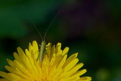 Nymph on dandelion Royalty Free Stock Photography
