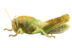 Nymph of Egyptian Locust species Anacridium aegyptium Stock Photography